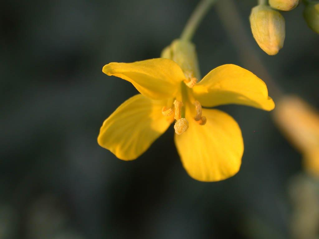 macro canola flower by pyrhho on deviantart