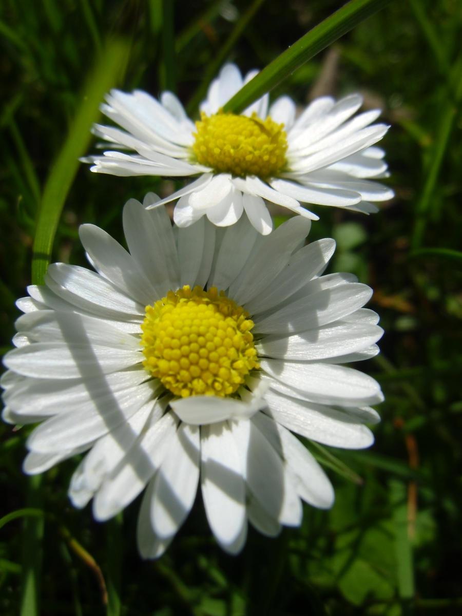 daisies by jellybear07