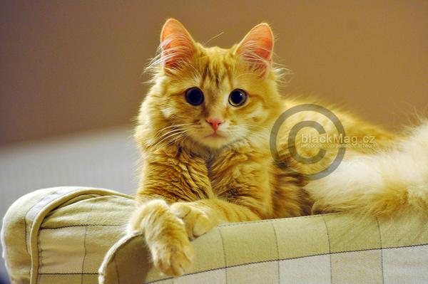 Jethro, cat by perlaque
