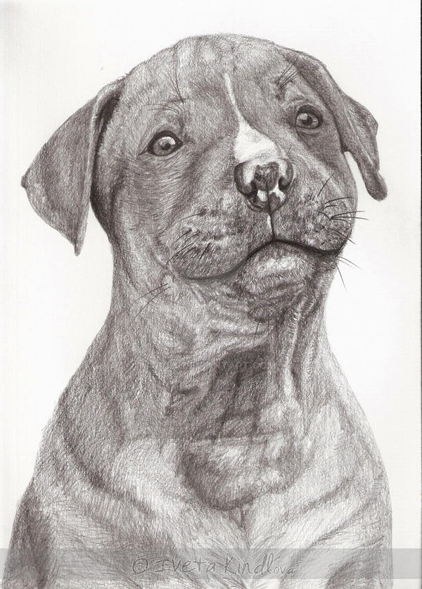 Pitbull dog drawings in pencil - photo#23
