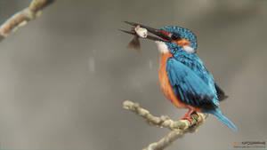 Martin pecheur Kingfisher