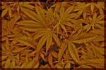 weed wallpaper