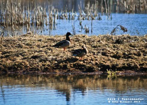 Ducks at the Marsh