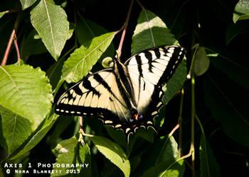 Butterfly by NoraBlansett