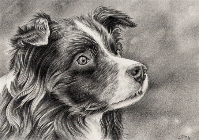Border collie by LucieOn