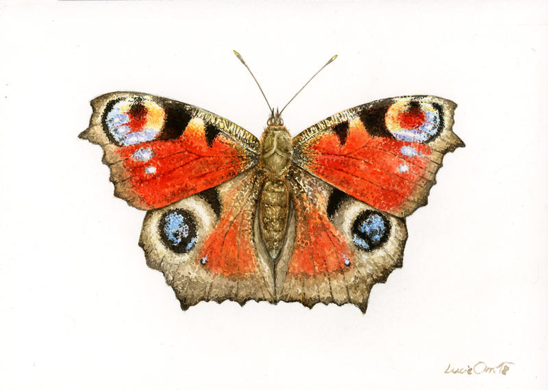Peacock Butterfly by LucieOn