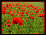 Poppys by skarzynscy