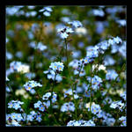 Forget-me-nots It's A Flowers From Fairy Tale