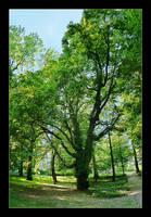 Big Old Tree - Vertical Panorama Photo by skarzynscy