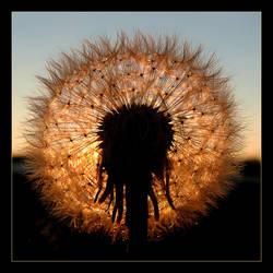 Dandelion's Eclipse by skarzynscy
