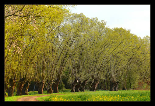 Old Willows Have Just Turned Green