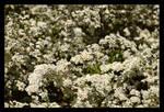 31 576 Little White Flowers by skarzynscy