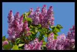 Just Lilac by skarzynscy