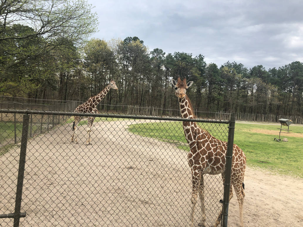 Giraffes by FriendshipFan1996