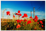 poppies near railway