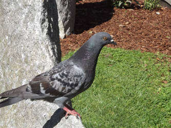 Swag Pigeon by HashtagJeric