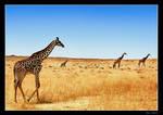 Giraffes Go On Forever