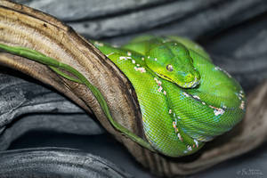 Green Snake by BenHeine