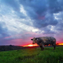 The Majestic Cow