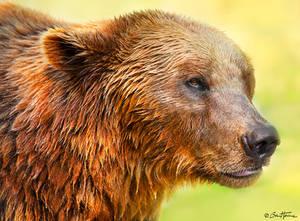 Cute Bear Portrait 2 - Ben Heine Photography