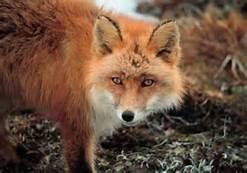 Fox by katomatic22