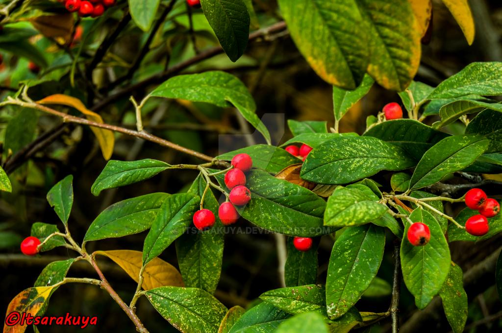 Holly tree by Itsarakuya