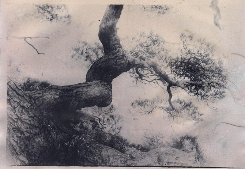 pine tree by neuzheli