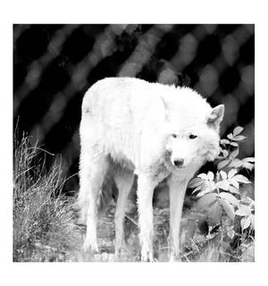 Wolf Haven International Wolf