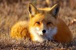 cute lil fox