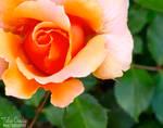 Peach Cream IV