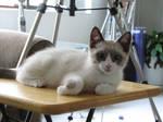 Table Kitten