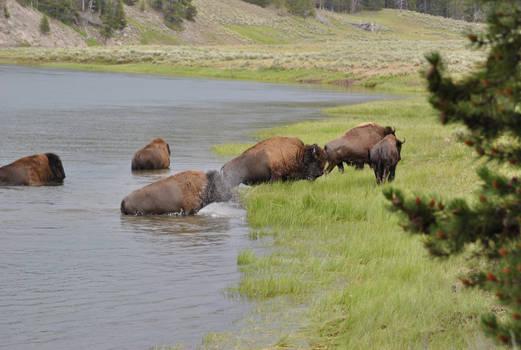 Bison Crossing 2
