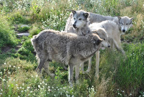 Wolf Pack Greeting