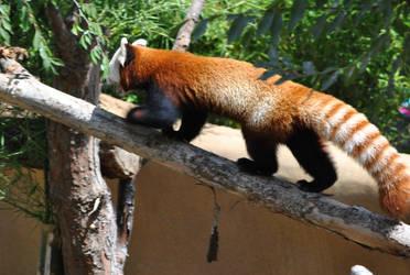 Red Panda - Action Yawn by suteki1