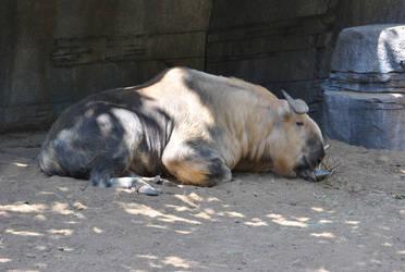 Sleeping Takin by suteki1