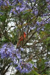 Cardinal by suteki1