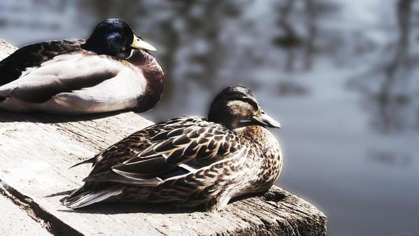 Ducks by PetiteAngelLove