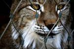 Lynx by RocknRollStar12
