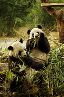 Chengdu's Pandas by Ananyana