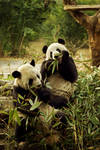 Chengdu's Pandas