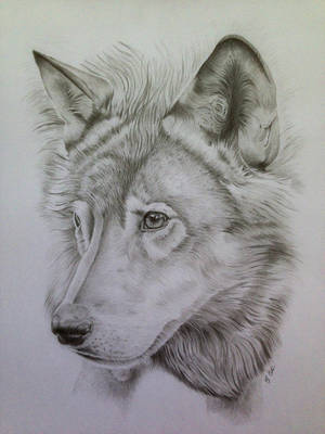Wolf Pencil Portrait 2 by Ned-The-Hat