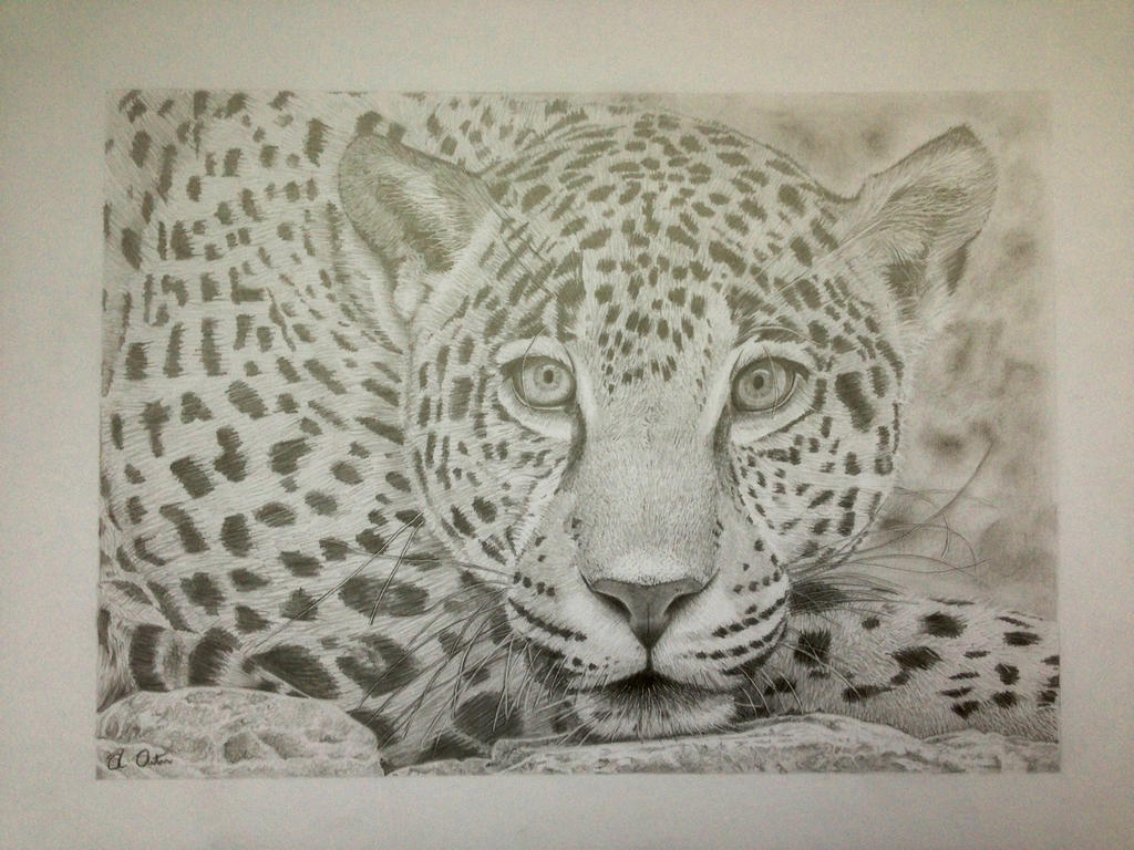 Jaguar Pencil Drawing By Nedthehat