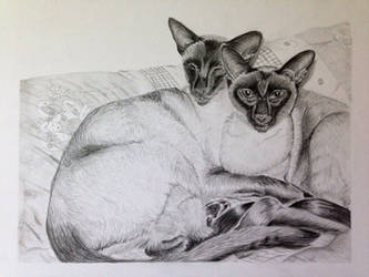 Siamese cat pencil drawing by Ned-The-Hat