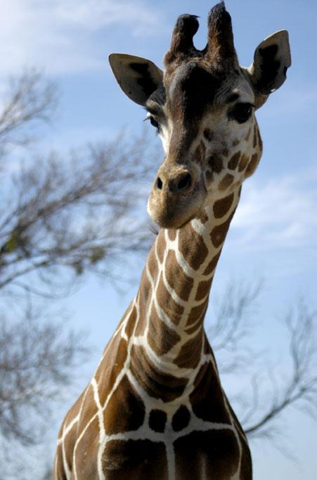 """Obrázek """"http://fc03.deviantart.com/fs6/i/2005/062/0/d/Giraffe_by_jake10684.jpg"""" nelze zobrazit, protože obsahuje chyby."""
