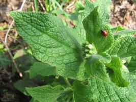 Ladybird on spring leaves