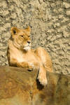 Lionness on the rocks