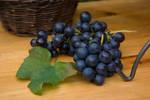 Grapes harvest 4