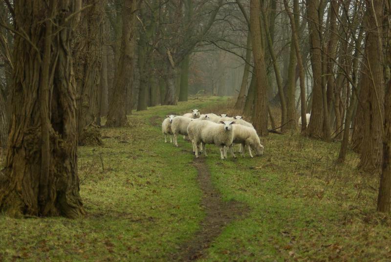 Sheep on the dike 2