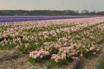 Flowering hyacinth fields 2