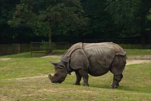 Rhino grazing by steppelandstock